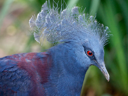 Blue-Crowned-Pigeon